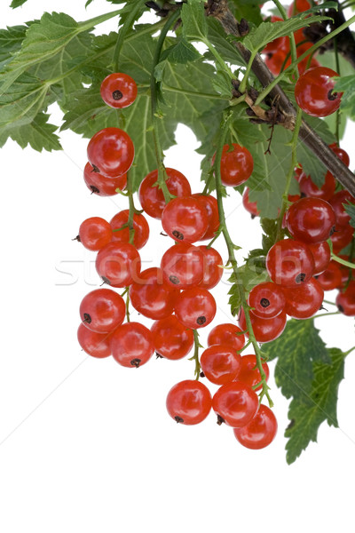 Clusters of  red currant hang on a branch  Stock photo © vavlt