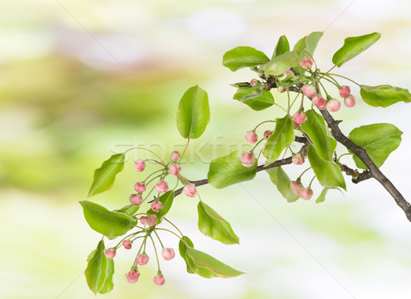 Spring branch with  pink buds Stock photo © vavlt
