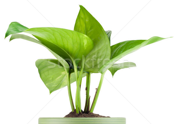 Favourite indoor plant Stock photo © vavlt