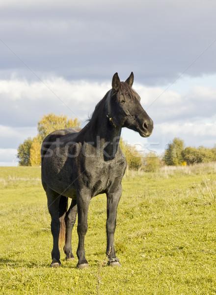 sad black  horse against an autumn landscape Stock photo © vavlt