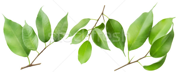 Three isolated branches  Stock photo © vavlt