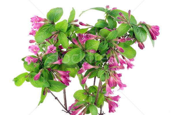Bush of Pink Weigela isolated Stock photo © vavlt