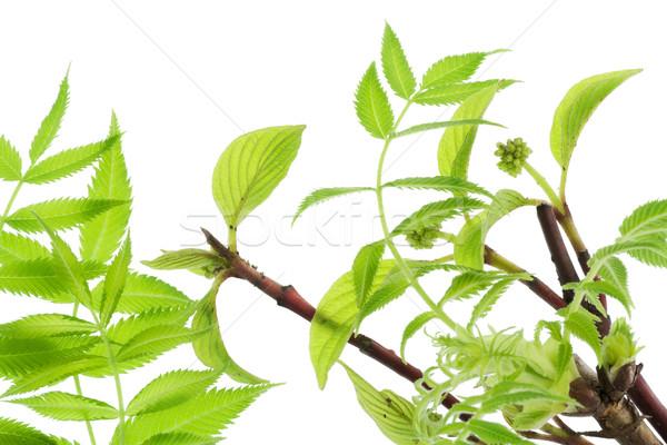 первый весны нежный листьев макроса Сток-фото © vavlt