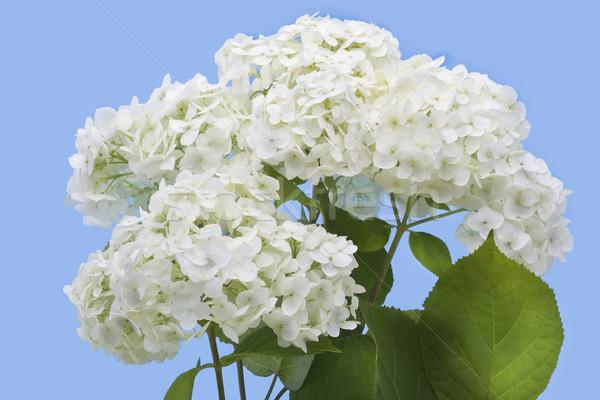 Isolated white hydrangea Stock photo © vavlt