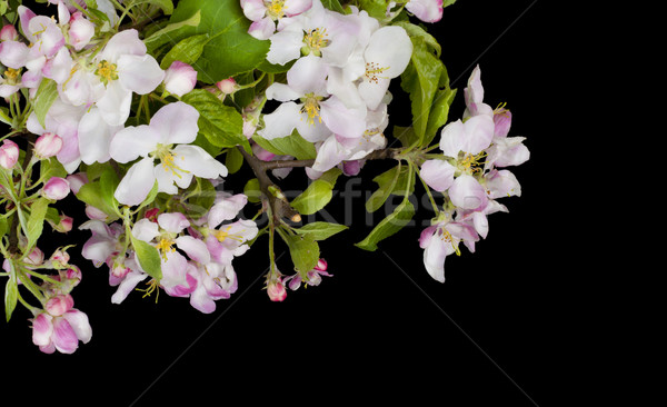 Fioritura nero cartolina isolato fiore Foto d'archivio © vavlt