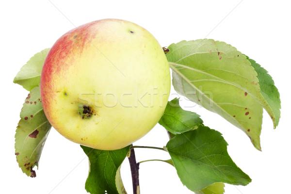 желтый красный экологический яблоко филиала одиноко Сток-фото © vavlt