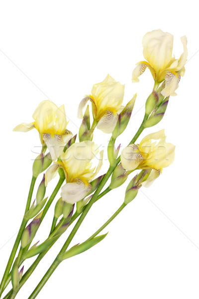 Iris  Stock photo © vavlt