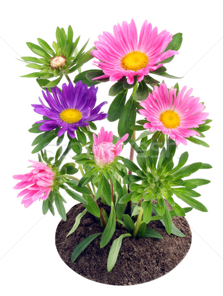 Blossoming  asters on a bed Stock photo © vavlt