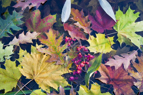 Autumn leaves in cold water Stock photo © vavlt