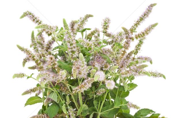 Bush floraison menthe poivrée jardin isolé blanche Photo stock © vavlt