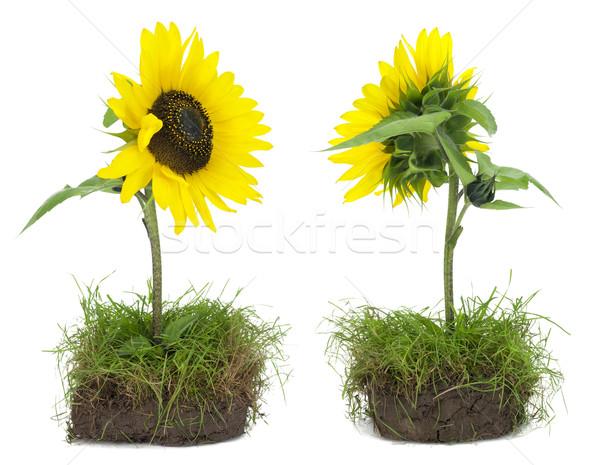 Achteraanzicht ingesteld klein zonnebloem plakje Stockfoto © vavlt