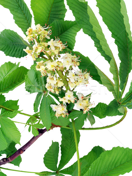 Isolated blossoming chestnut Stock photo © vavlt