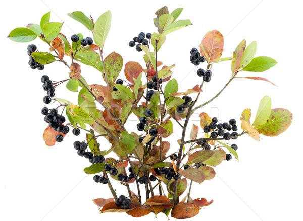 Bush of a black mountain ash  Stock photo © vavlt
