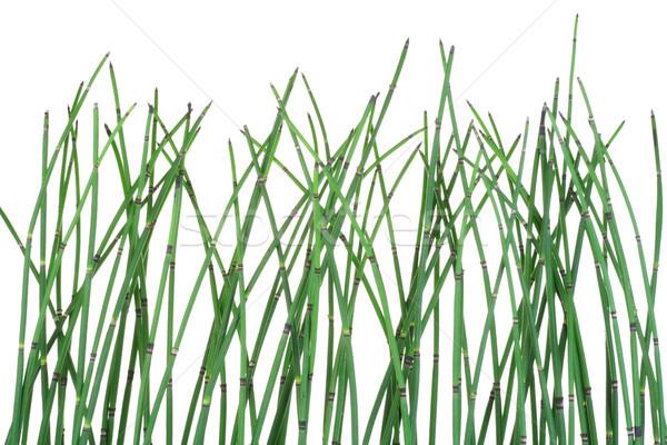 Növény izolált fehér mező zöld tiszta Stock fotó © vavlt
