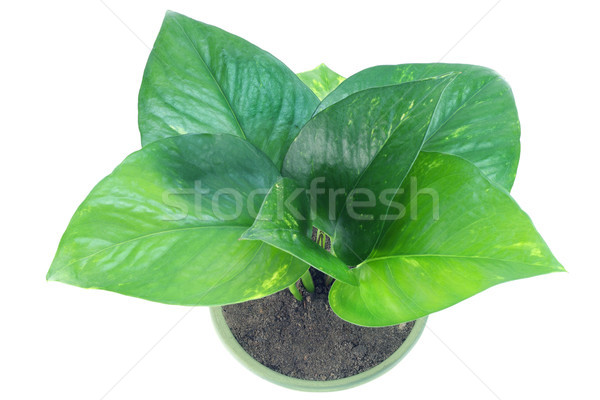 Green indoor plant Stock photo © vavlt