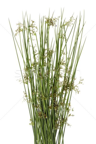 Sharp erba verde fiore macro Foto d'archivio © vavlt