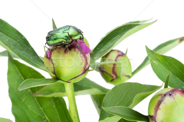 Green bug on green buds Stock photo © vavlt