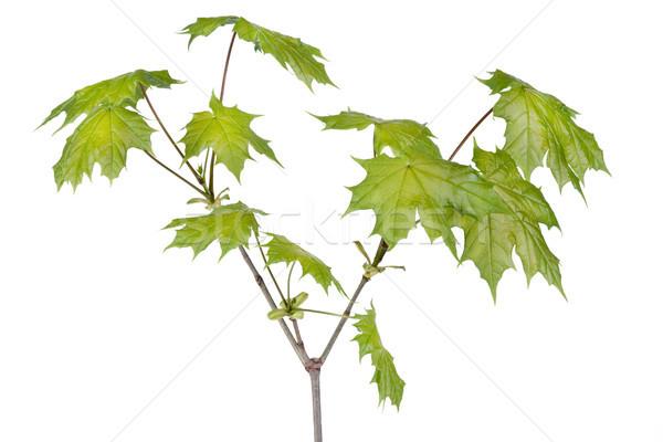 Spring maple tree branch Stock photo © vavlt