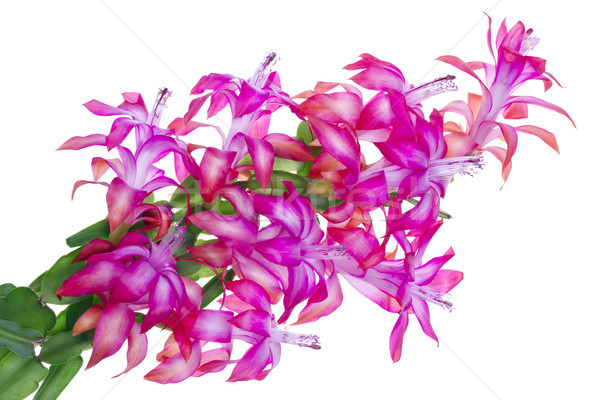 Egzotikus rózsaszín virágok virág zseblámpa bokor Stock fotó © vavlt