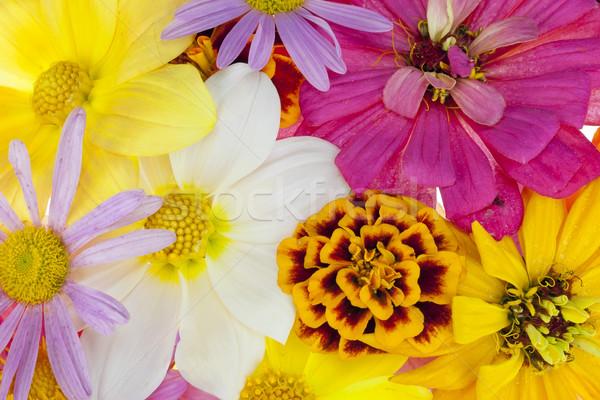 Eerste liefde eenvoudige zomerbloemen macro bloemen Stockfoto © vavlt