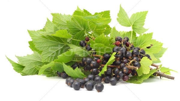 Black currant branches isolated Stock photo © vavlt