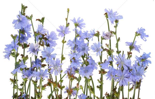 Field wild cornflowers  Stock photo © vavlt