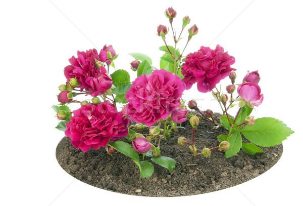 Klein rozenkrans klein roze rozen bed Stockfoto © vavlt