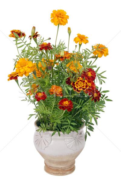Flowers of Saffron bush in pot Stock photo © vavlt