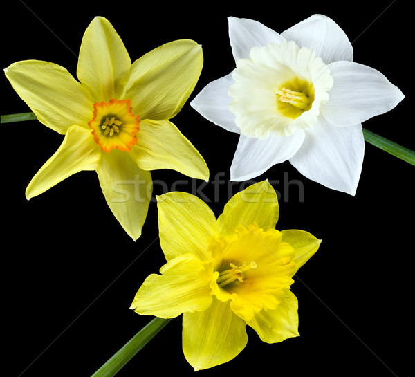Three narcissuses on the black Stock photo © vavlt
