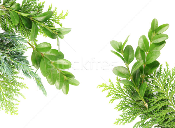 Postcard from evergreen plants Stock photo © vavlt