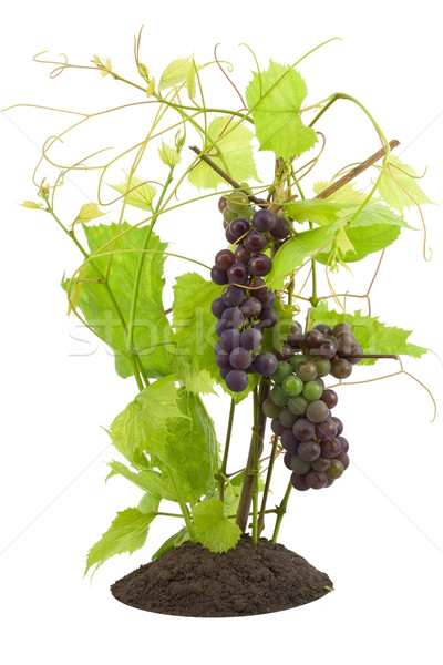 Young sprouts of red grapes, unripe berries. Stock photo © vavlt
