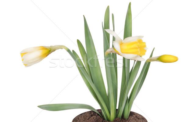 Jonge bush Geel voorjaar bed geïsoleerd Stockfoto © vavlt