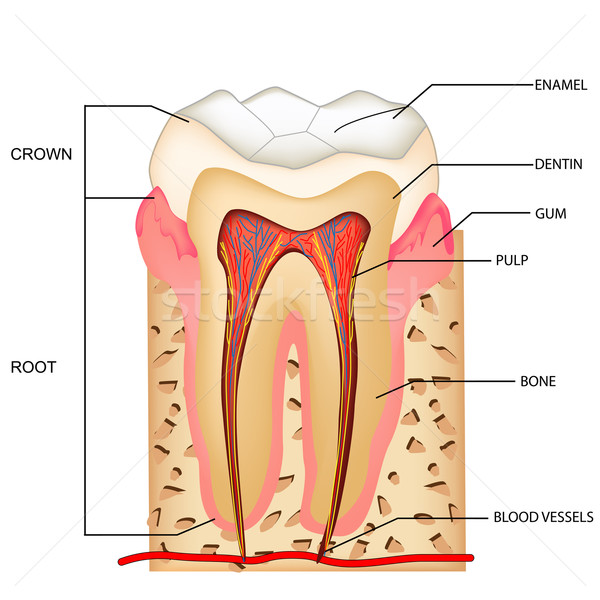 Dents anatomie illustration design médecine couronne Photo stock © vectomart
