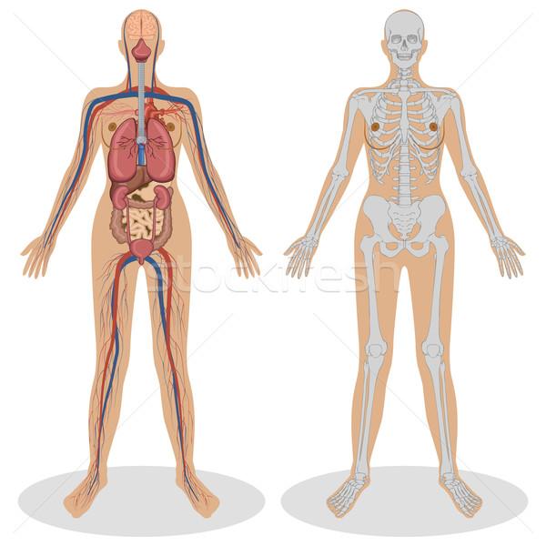 Anatomia humana mulher ilustração branco modelo fitness Foto stock © vectomart
