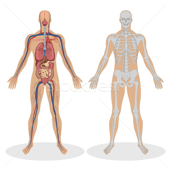 Human Anatomy of man Stock photo © vectomart