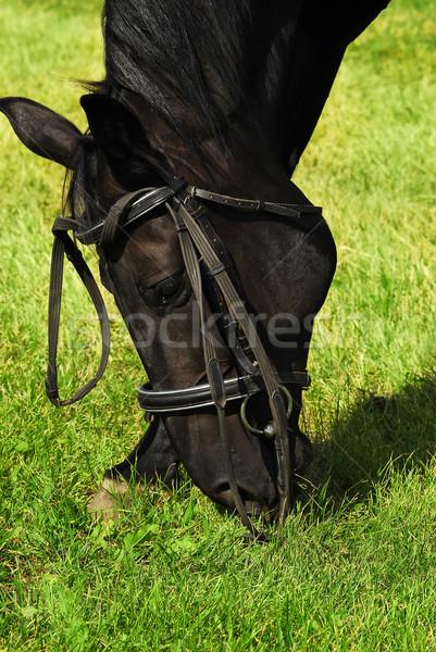 Fekete ló eszik fű Stock fotó © Vectorex