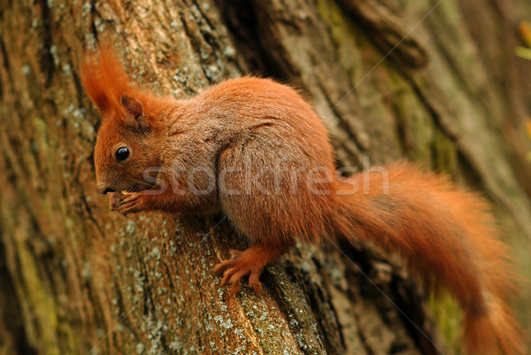 Mókus fa állat ősz szabadtér évszak Stock fotó © Vectorex