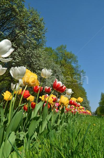Park tulipánok Varsó város tavasz idő Stock fotó © Vectorex