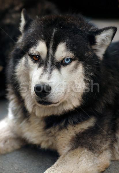 Husky kutya padló kettő különböző szem Stock fotó © Vectorex