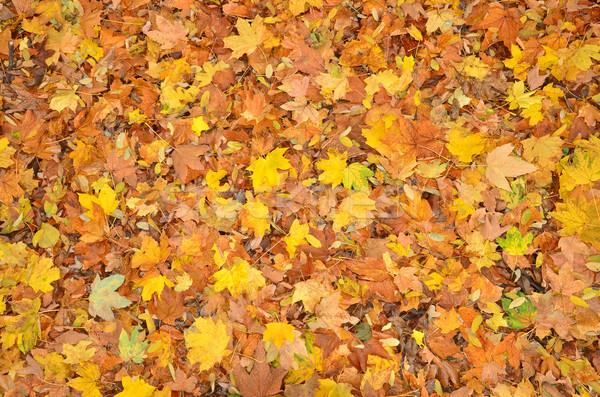 őszi levelek ősz színes természet levél háttér Stock fotó © Vectorex