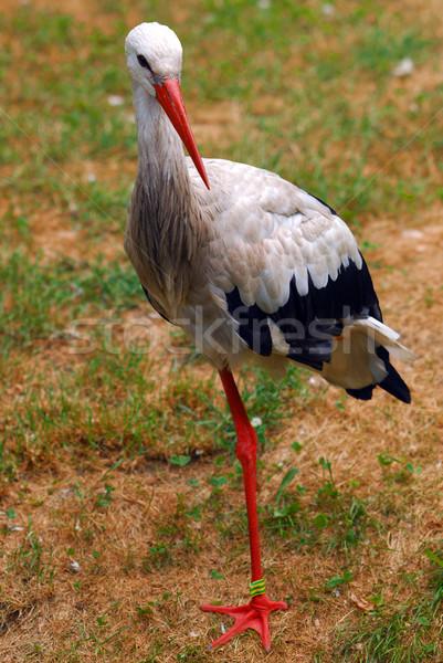 Gólya madár áll egy láb Stock fotó © Vectorex