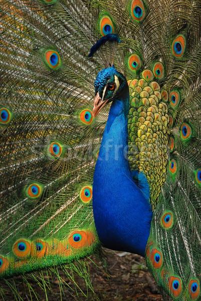 Paon portrait ouvrir queue derrière oiseau Photo stock © Vectorex