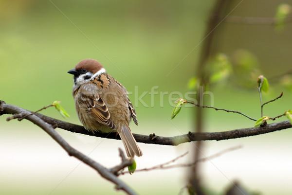 Veréb ül fa tavasz idő toll Stock fotó © Vectorex