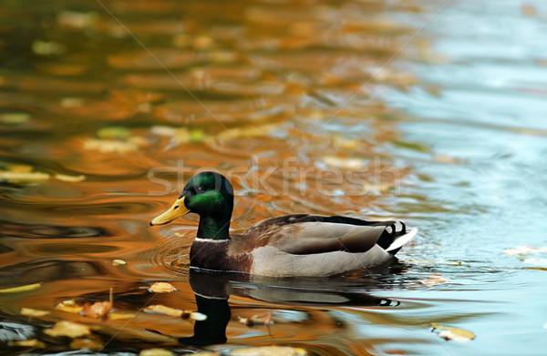 Canard lac automne natation eau couleurs d'automne Photo stock © Vectorex
