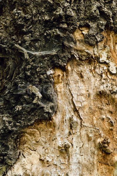 öreg nagy keményfa textúra fa háttér Stock fotó © Vectorex