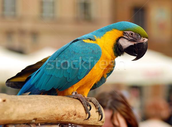 Papagáj ül fa városi ki fókusz Stock fotó © Vectorex