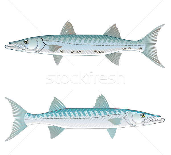 Barracuda vector art illustration realistic Stock photo © vectorworks51