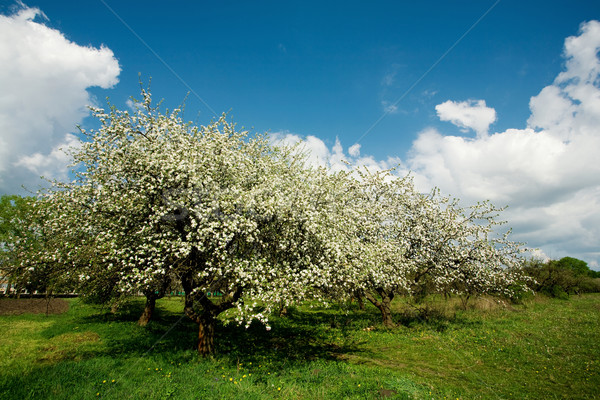 Apple tree in blossom Stock photo © velkol