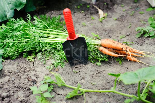 Orange carrots Stock photo © velkol