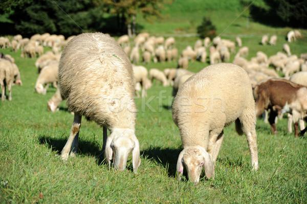 Sheep Stock photo © velkol